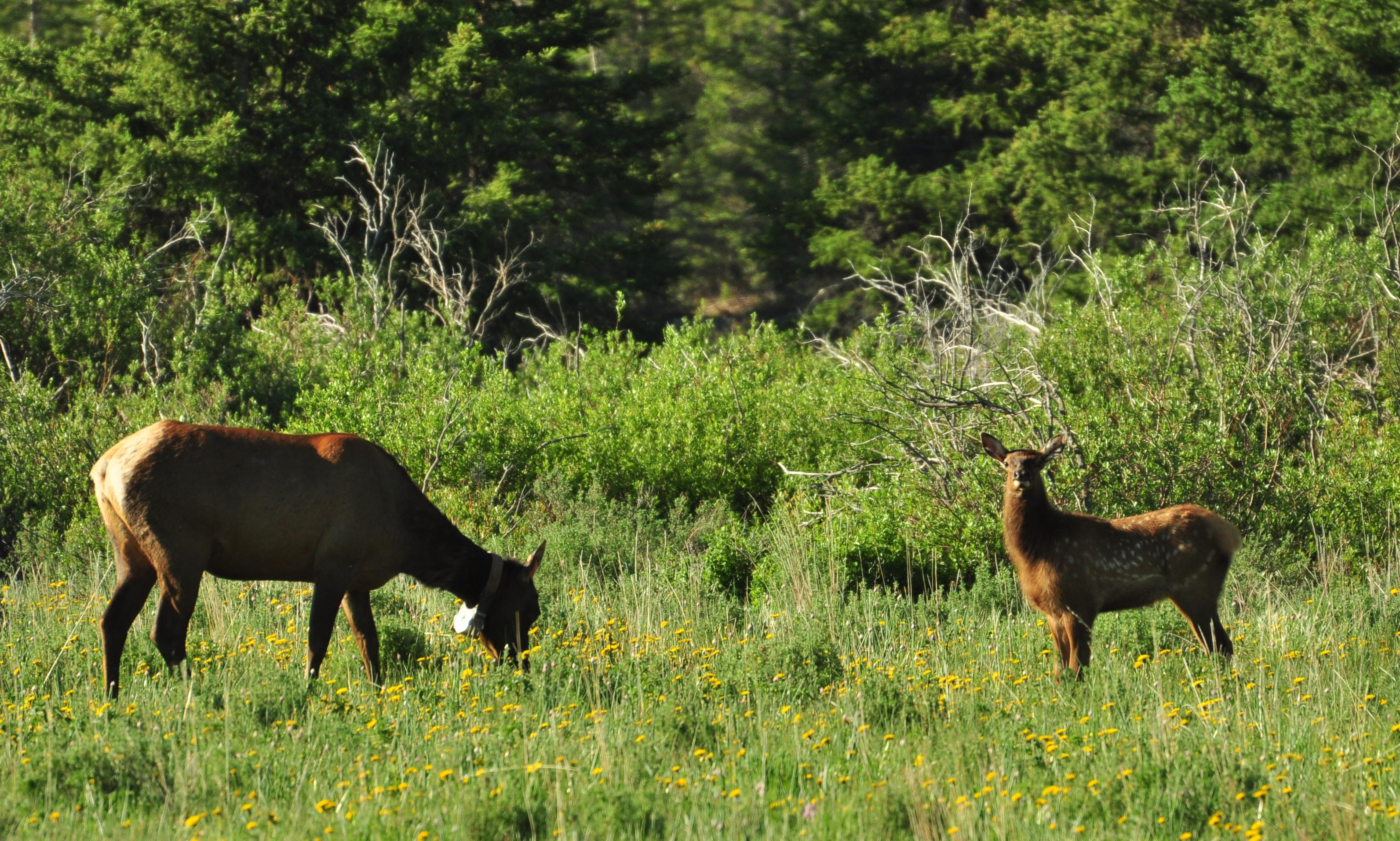 Elk calf cause-specific mortality
